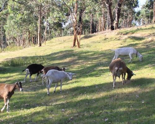 goat-banner-3